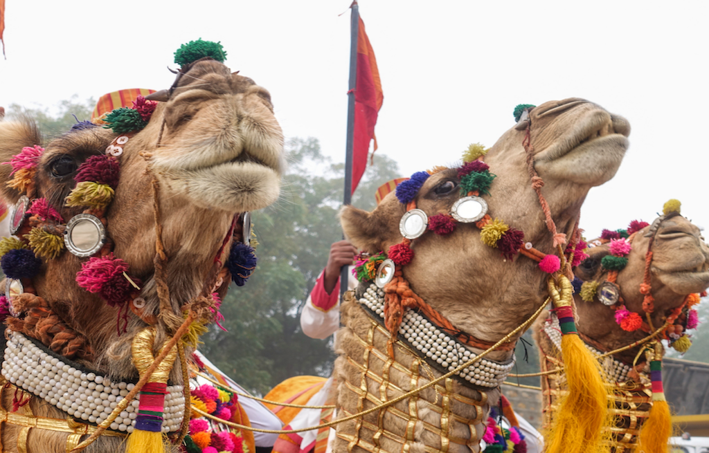 camel-jaisalmer-desert-festival