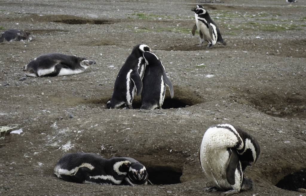 pinguins-ils-magadalena