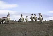 isla-magdalena-patagonia-chilena
